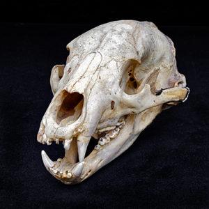 Lion skull_0645